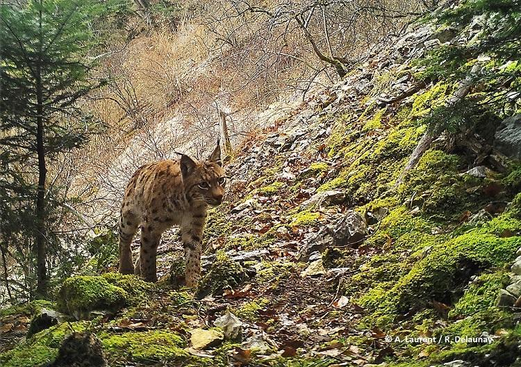 01 lynx (2)